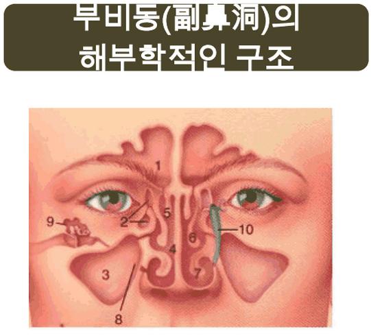 부비동의 해부학적 구조